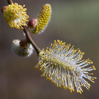 A willow bud