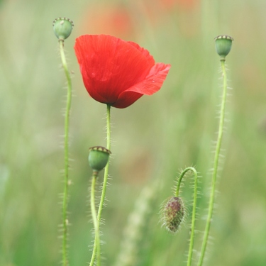 Red Poppy Flower (3)