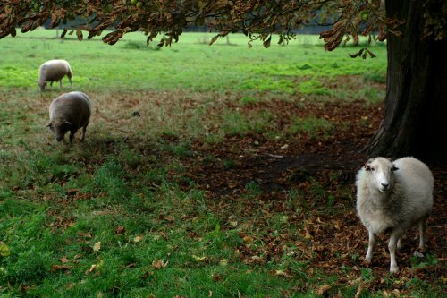 Sheeps in the park of the palace of Versailles
