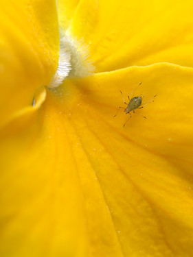A small criter on a yellow pansy flower